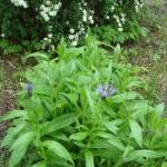 Echinacia, I think